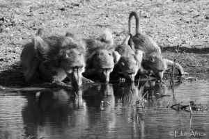 baboons, Chobe National Park, Botswana, B&W, black and white photography, EikónAfrica