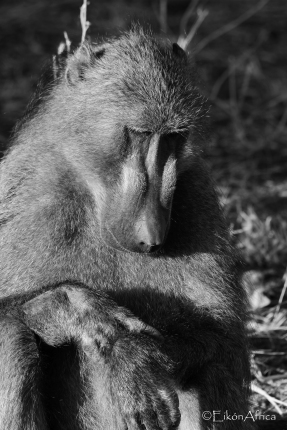 baboon, Chobe National Park, Botswana, B&W, black and white photography, EikónAfrica