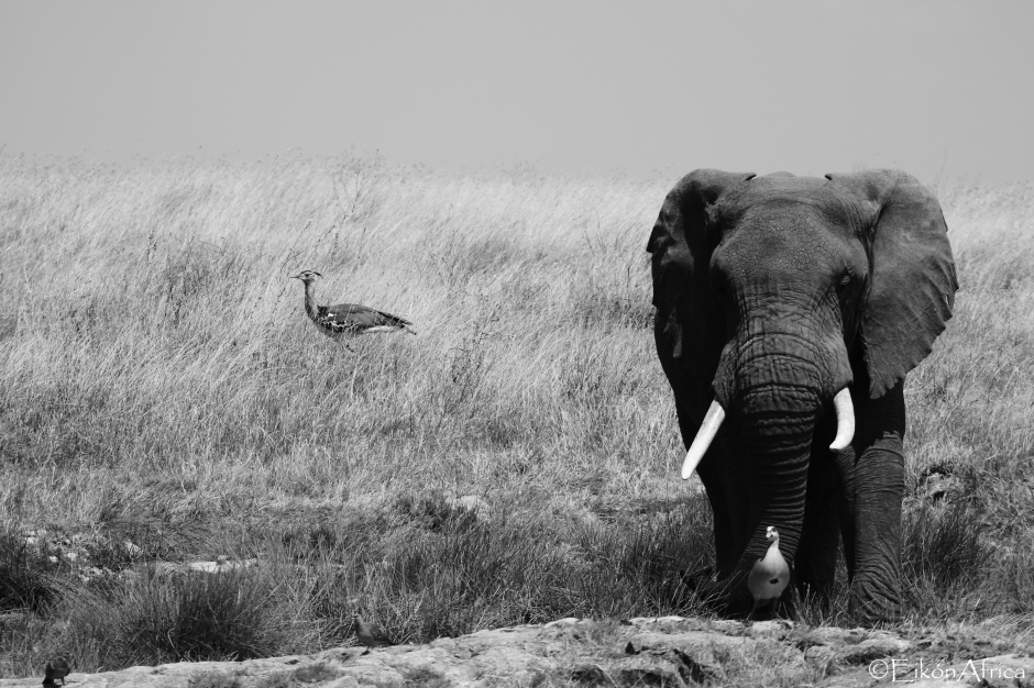 elephant, birds, Serengeti National Park, B&W, black and white photography, EikónAfrica